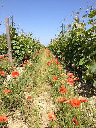 vignes coquelicots.jpg