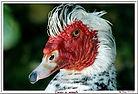 La Ferme Lilette - Canard de Barbarie
