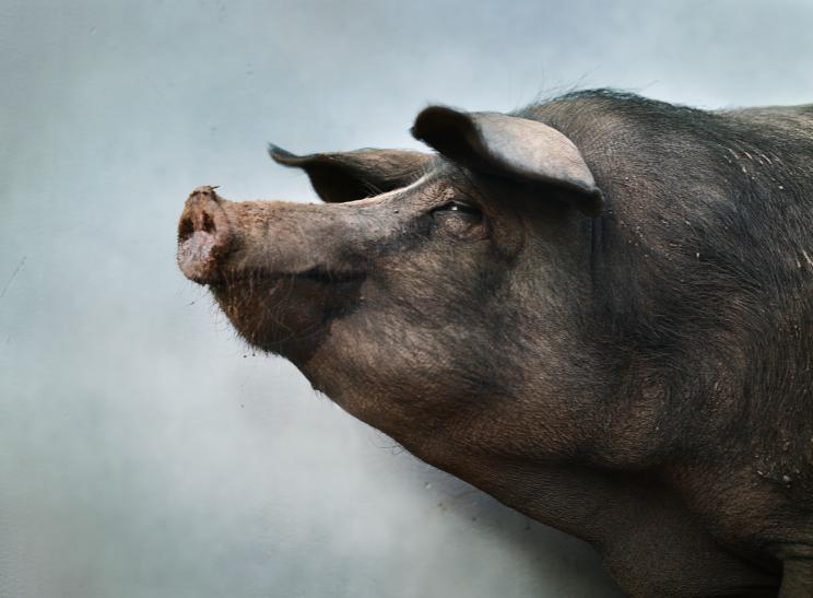 Chop, portrait of a survived pig