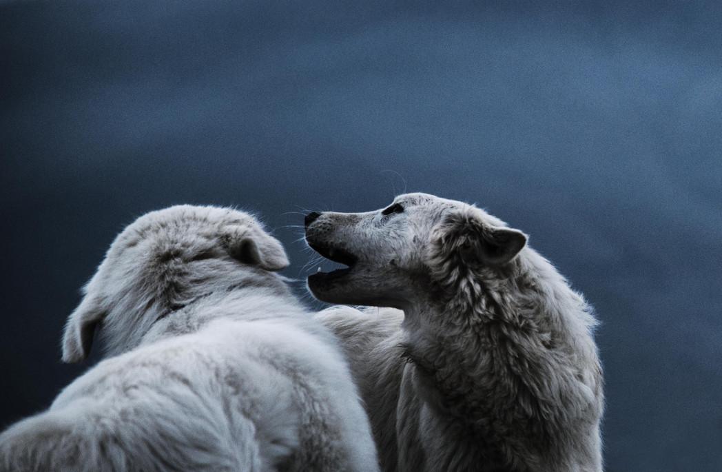 Sheep dogs palying