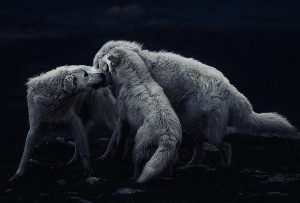 sheep dogs playing