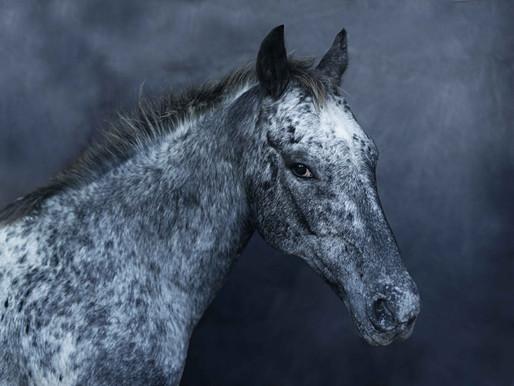 SURVIVORS, backstage Italian Horse Proetction calendar 2014