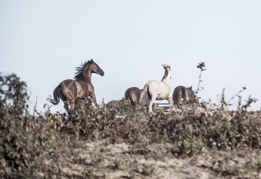free horses running on the hills