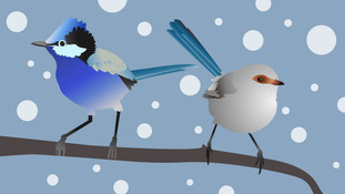 Brighter fairy-wrens are better parents
