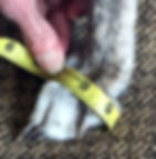 Measure paw circumference