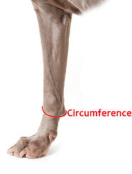Dog Leg Circumference Measurement