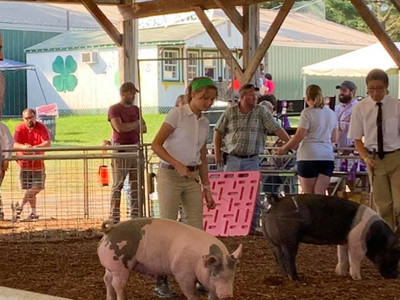 girl showing her pigs at the harford county 4-h farm fair