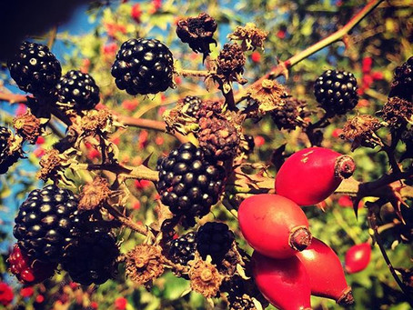 Hedgerow Berries & their Benefits