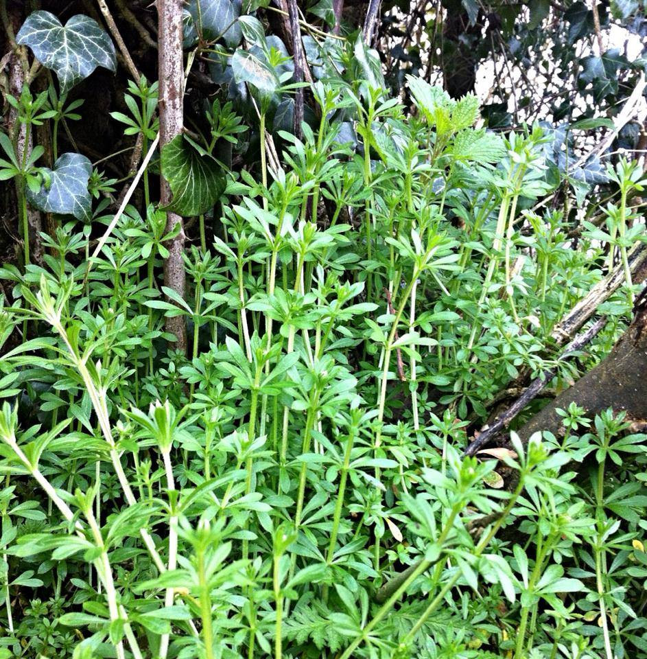 Cleavers Galium Aparine A K A Sweethearts Goosegrass Sticky Willy