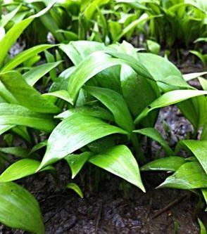 Ramsons (Allium ursinum) – a.k.a. Buckrams, Wild Garlic, Broad-Leaved Garlic, Wood Garlic, Bear Leek