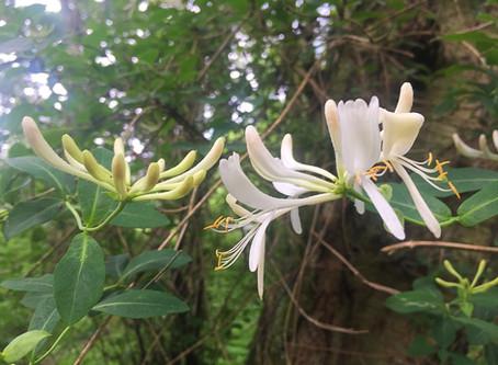 Honeysuckle Flower (Lonicera periclymenum & Lonicera japonica)