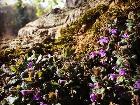 Ground Ivy (Glechoma hederacea)