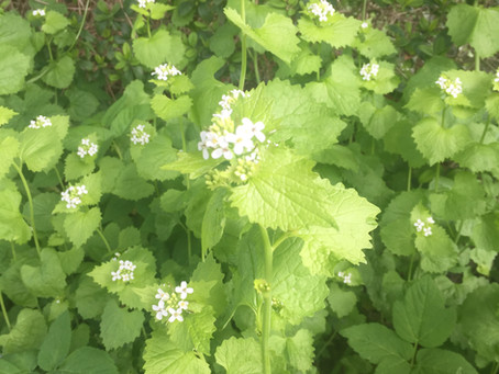 Jack-by-the-Hedge (Alliaria petiolata)
