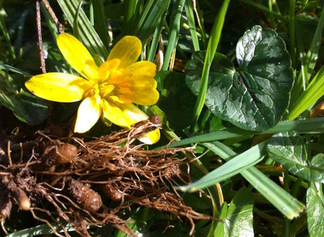 Lesser Celandine (Ranunculus ficaria) a.k.a Pilewort