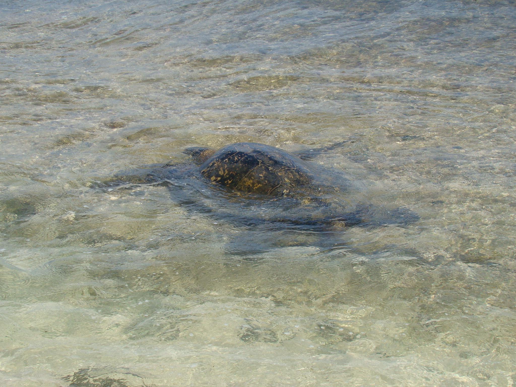 Sea Turtle Near Shore on Poipu Beach