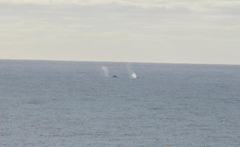 Whales in Wailua Bay