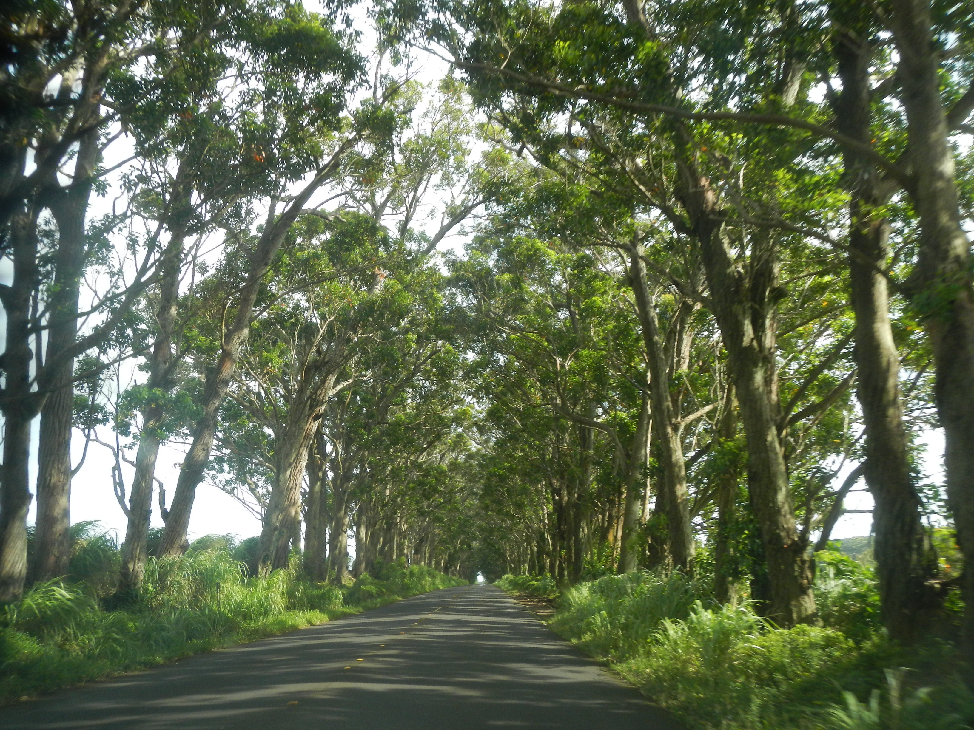 Tunnel of Trees on way to Poipu