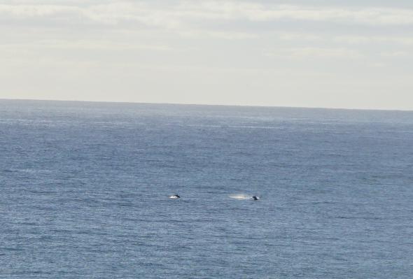 Dolphins in Wailua Bay