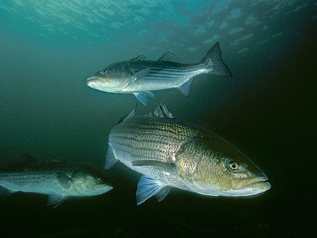 The Downfall of Striped Bass (Again)