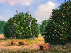 Picking Oranges.jpeg