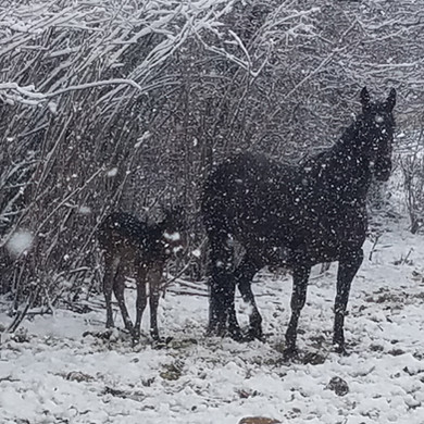 1st foal in last spring snow fall