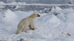Polar Bear - Hinlopen-546