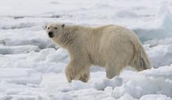 Polar Bear - Hinlopen-240