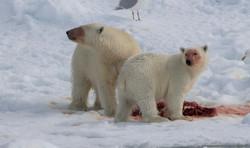 Polar Bear - Hinlopen-587