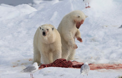 Polar Bear - Hinlopen-567