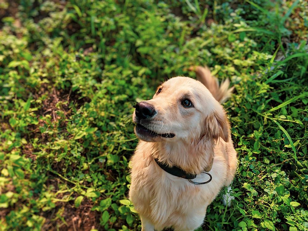 Cute golden retriever dog in grass Evie Digital Marketing Studios