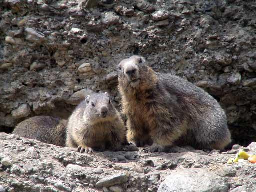 Les Marmottes 100 mètres de l'hôtel