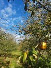 The orchard at Ragmans