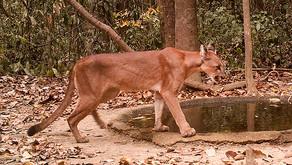 Áreas da CENIBRA abrigam felinos ameaçados de extinção