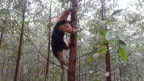 Biodiversidade nas áreas da CENIBRA - tamanduá-mirim