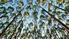 Setor de Árvores Cultivadas planta 1 milhão de árvores por dia