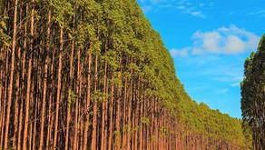 Maior cultura agrícola de Minas é formada por florestas plantadas