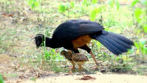 Projeto MUTUM - 31 Anos: Pioneiro Projeto de Reintrodução de Aves Silvestres Ameaçadas de Extinção