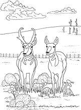 pronghorn antelope 001.jpg