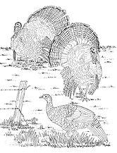 3 turkeys 001.jpg