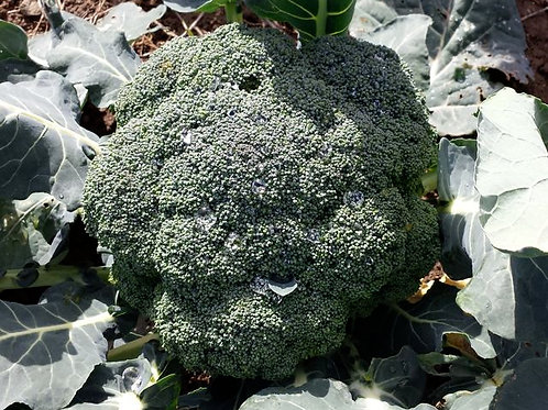 Broccoli 1 lb