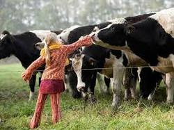 vache fille