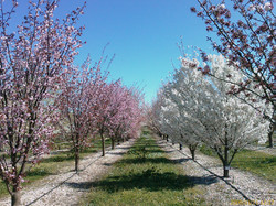 INRA Orchards collection