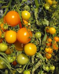 Tomate Carotina