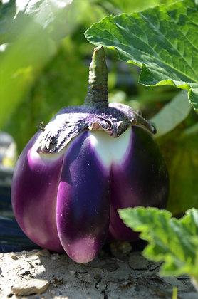 Aubergine Ronde violette