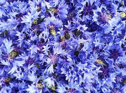Волошка синя (Centaurea Сyanus): лікувальні властивості в косметиці