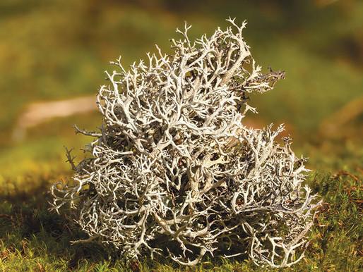 Исландский мох: лечебные свойства