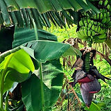 chua-banana-photo-w.jpg
