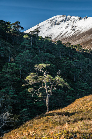 Scotts pine tree standing out in the light on the slopes of Beinn Eighe, Wester