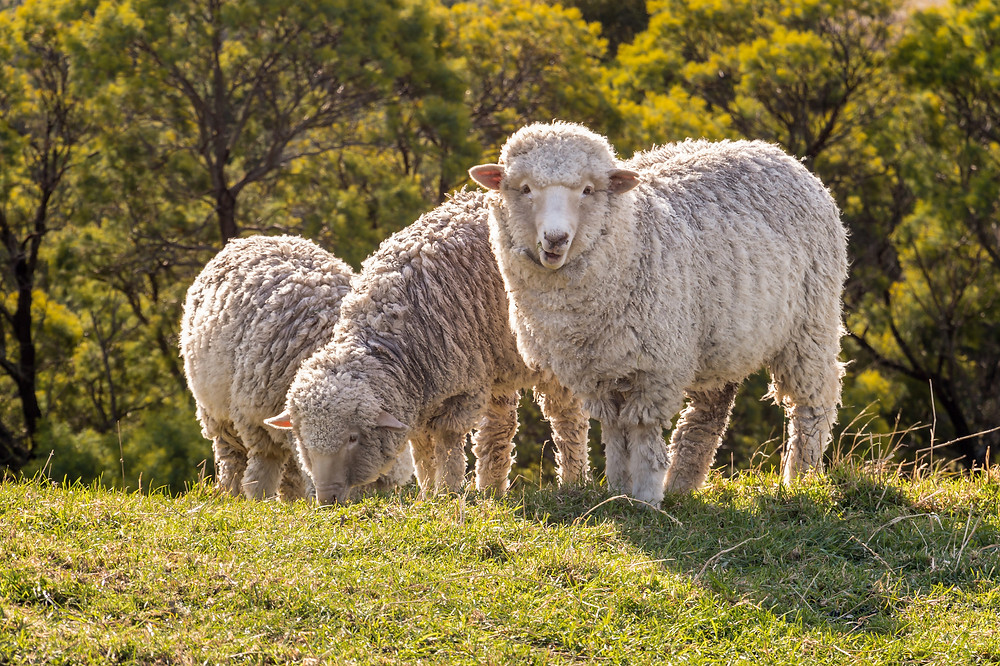 Cute merino sheep grazing