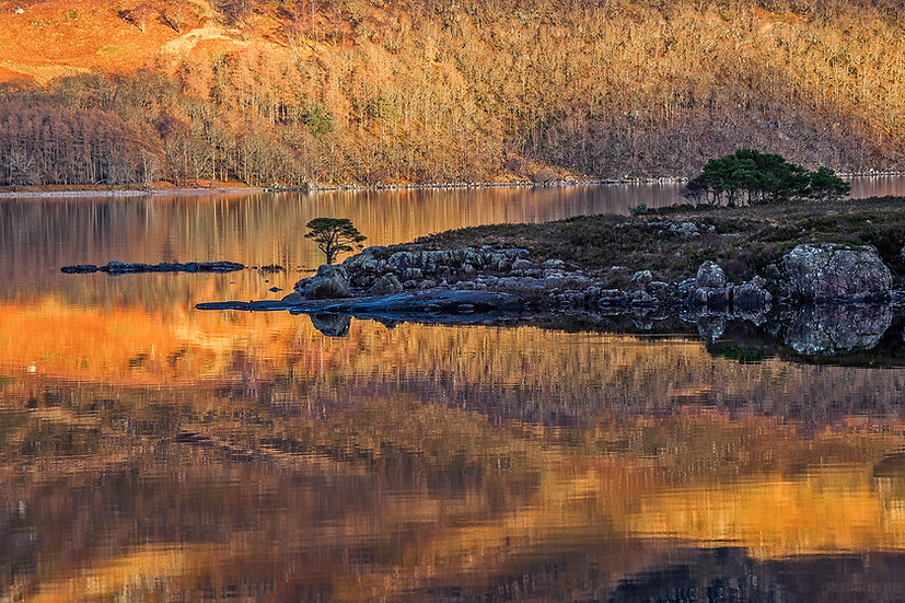 Lonely Scots Pine
